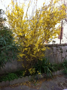 Forsythia in France